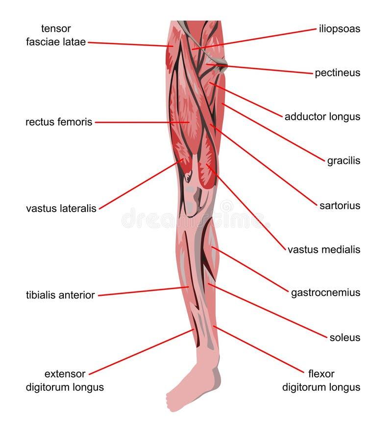 Músculos de la pierna imagenes de archivo