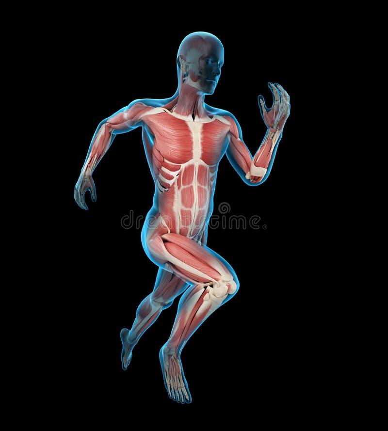 Músculos de los corredores libre illustration