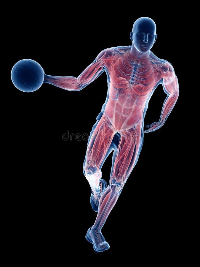 Músculos de los jugadores de básquet ilustración del vector