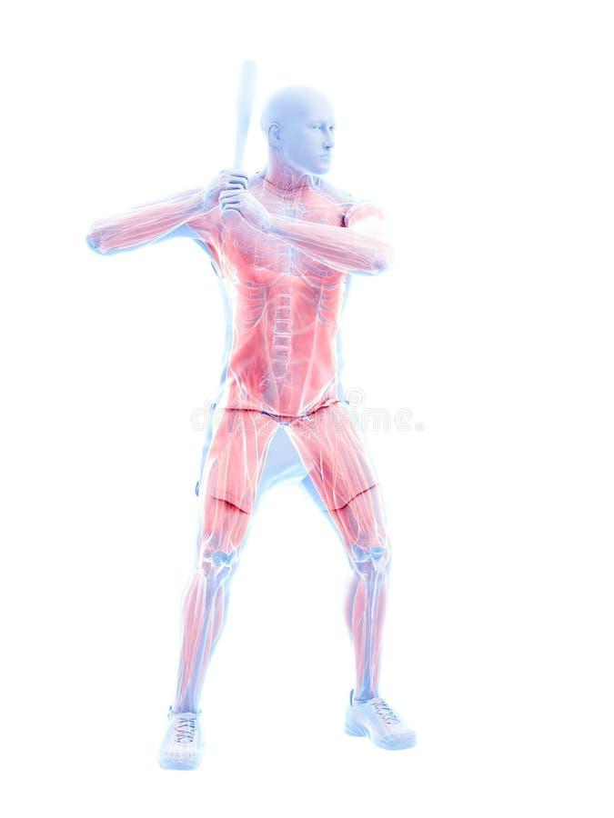 Músculos de los jugadores de béisbol ilustración del vector