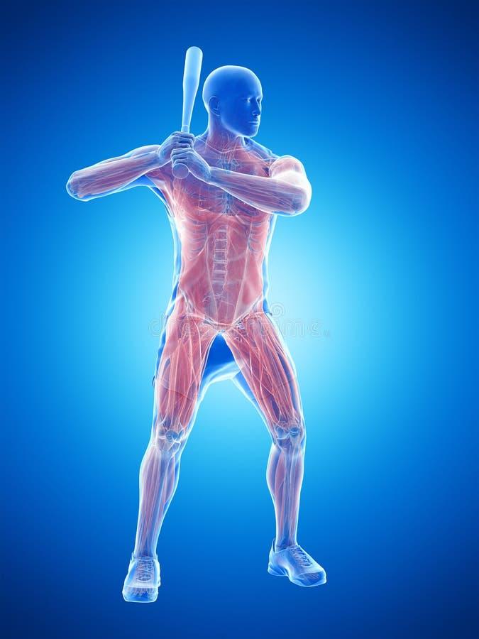 Músculos de los jugadores de béisbol libre illustration