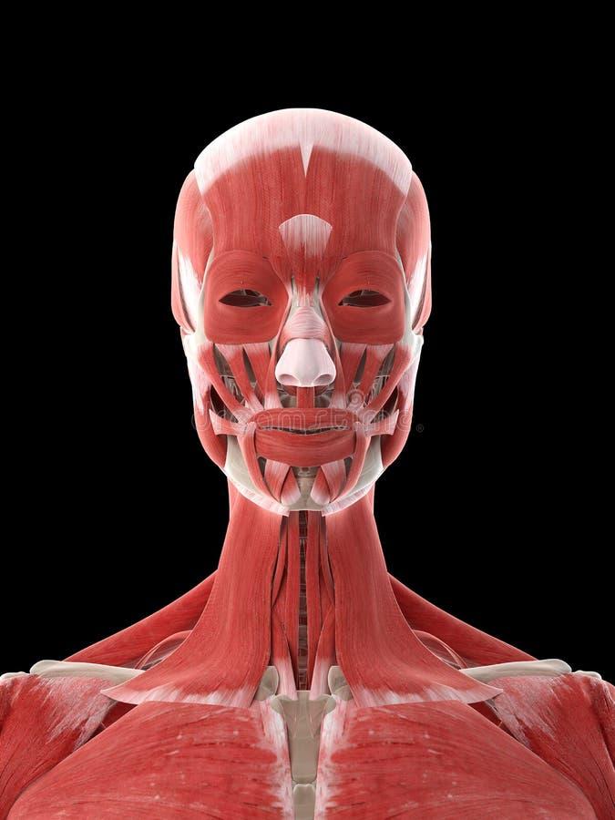 Músculos de un cuello de las hembras stock de ilustración