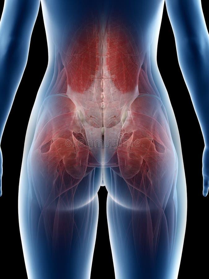 Músculos de una cadera de las hembras ilustración del vector