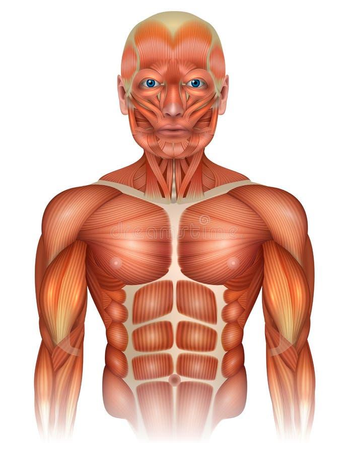 Músculos del cuerpo superior humano libre illustration