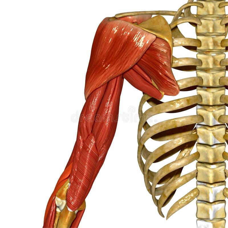 Músculos del hombro stock de ilustración. Ilustración de antebrazo ...