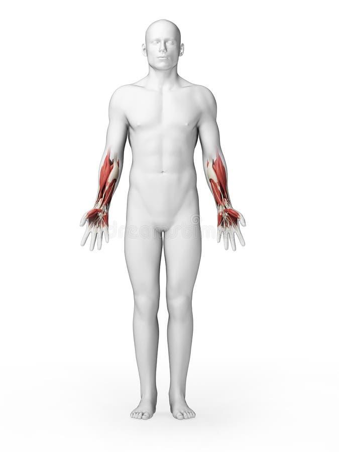 Músculos do antebraço ilustração stock
