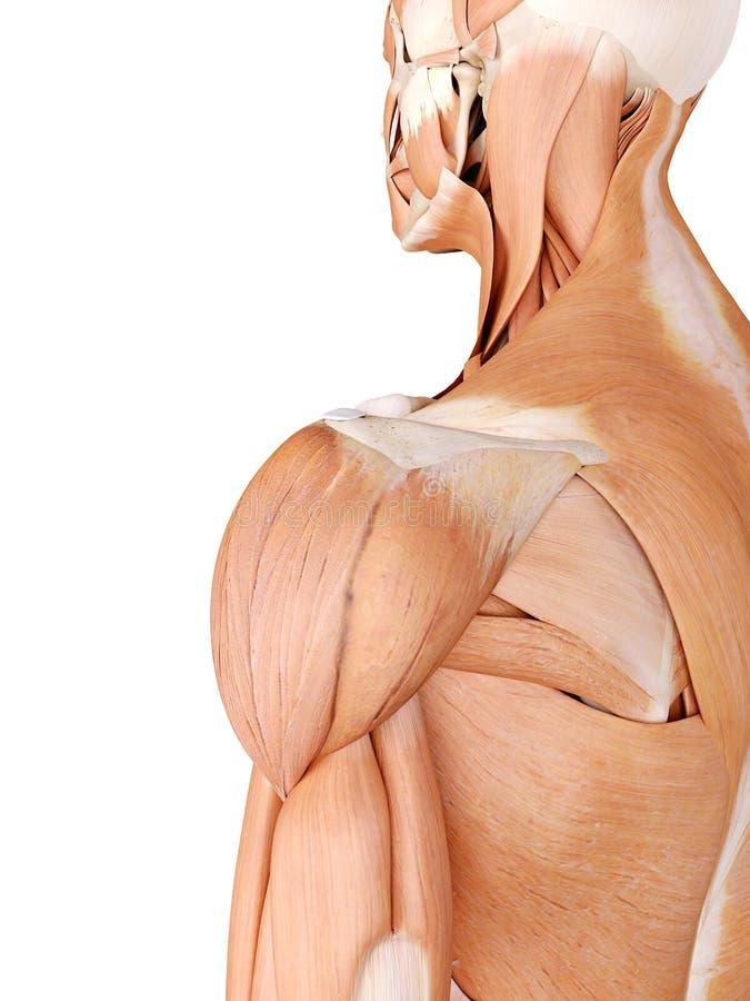 Músculos do ombro ilustração stock