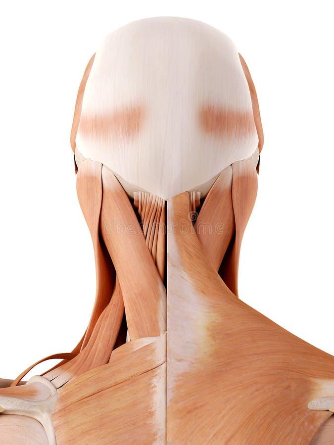 Músculos do pescoço ilustração royalty free