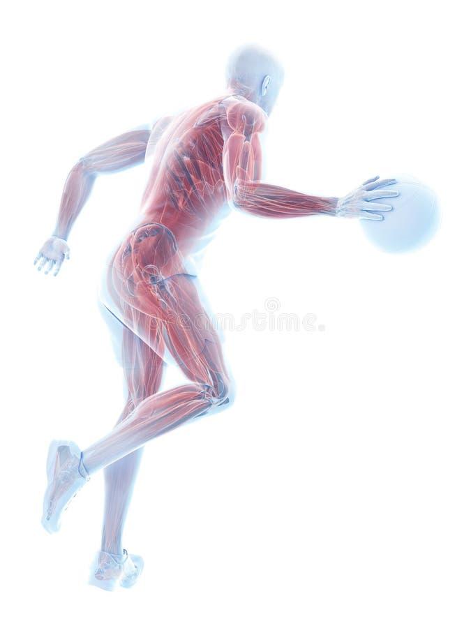 Músculos dos jogadores de basquetebol ilustração royalty free