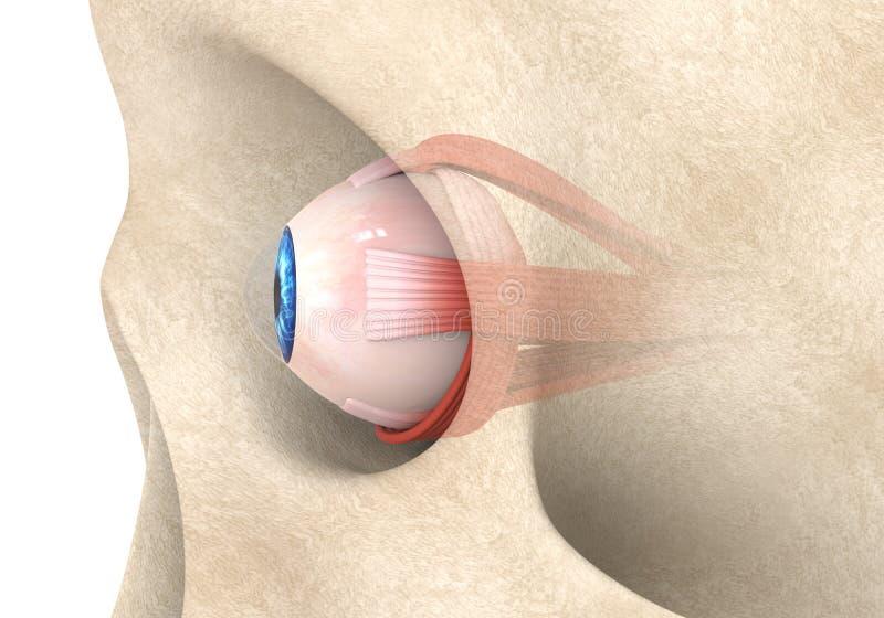 Músculos extraoculares del ojo humano ilustración del vector