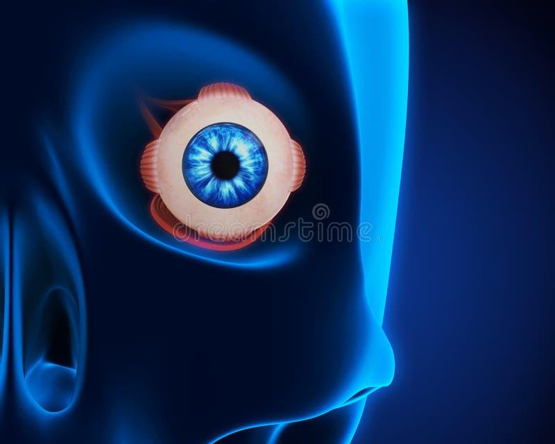 Músculos Extraoculares Del Ojo Humano Stock de ilustración ...