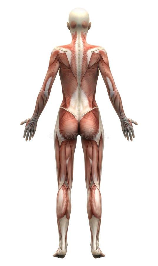 Músculos fêmeas da anatomia - vista traseiro ilustração royalty free