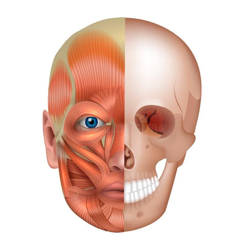 Músculos faciais e ossos ilustração royalty free
