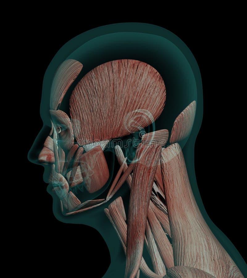 Músculos Humanos De La Anatomía Del Perfil De Una Cabeza Stock de ...