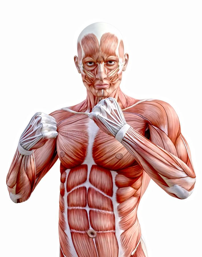 Músculos humanos del cuerpo de la anatomía que luchan los puños ilustración del vector