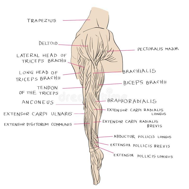 Hermosa Músculos Laterales Bosquejo - Imágenes de Anatomía Humana ...