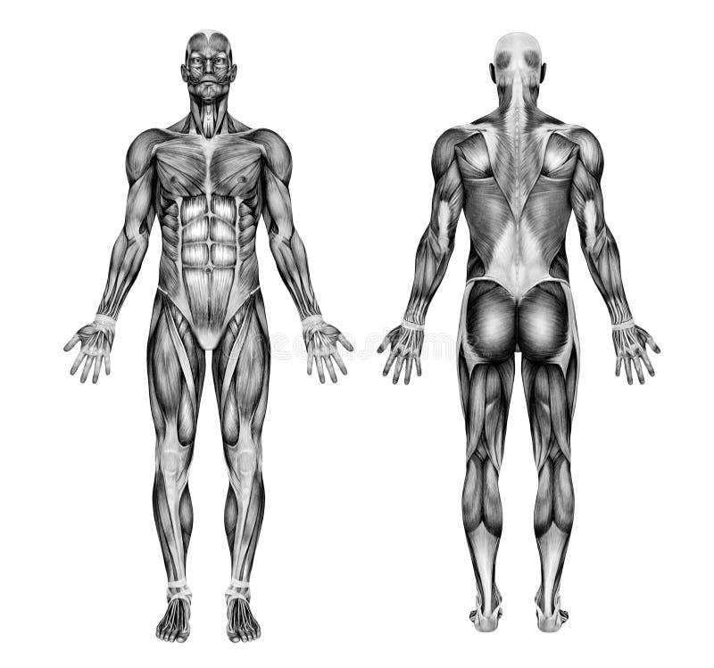 Músculos masculinos - estilo do desenho de lápis ilustração do vetor