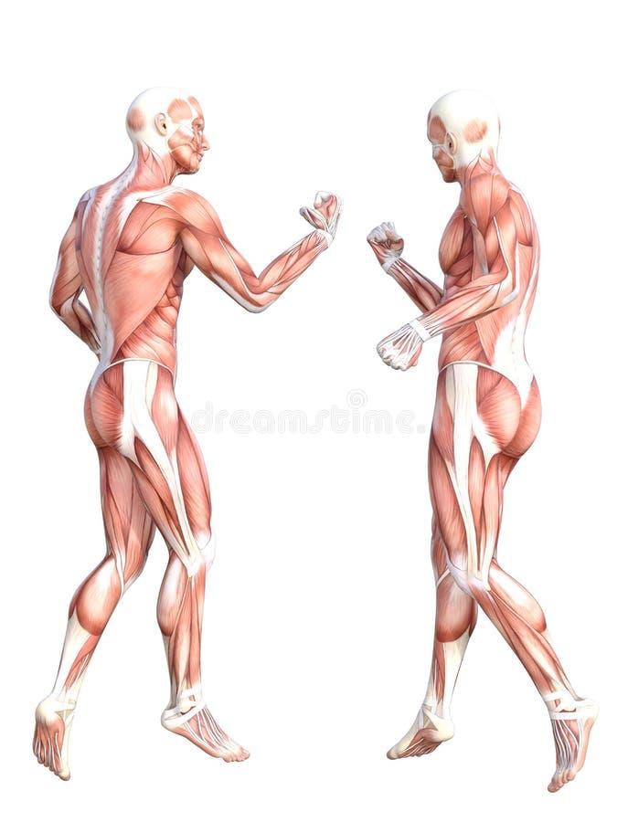 Músculos Sin Piel Sanos Conceptuales Del Cuerpo Humano Stock de ...