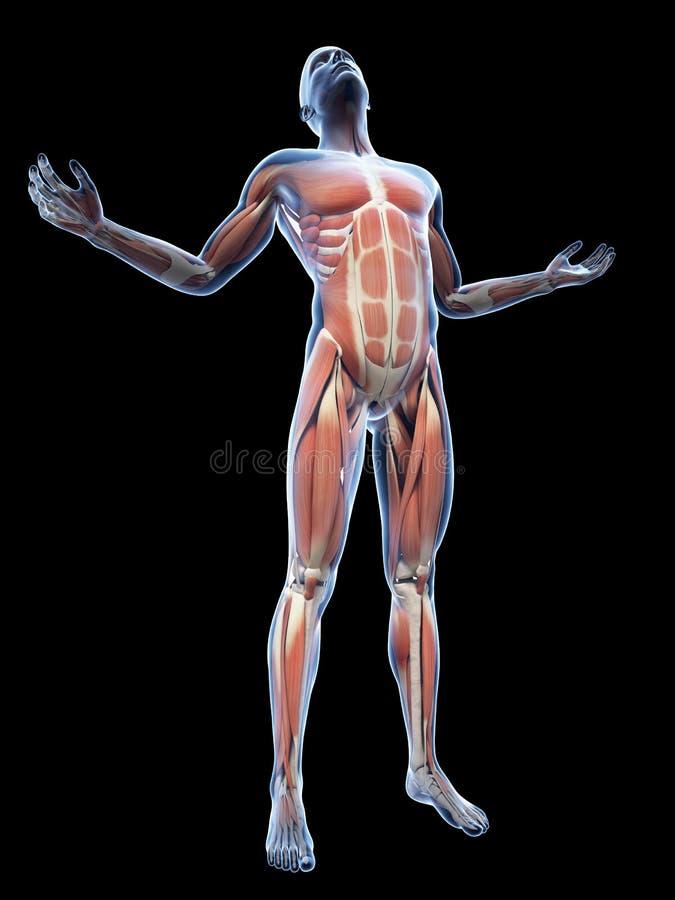 músculos visíveis ilustração royalty free