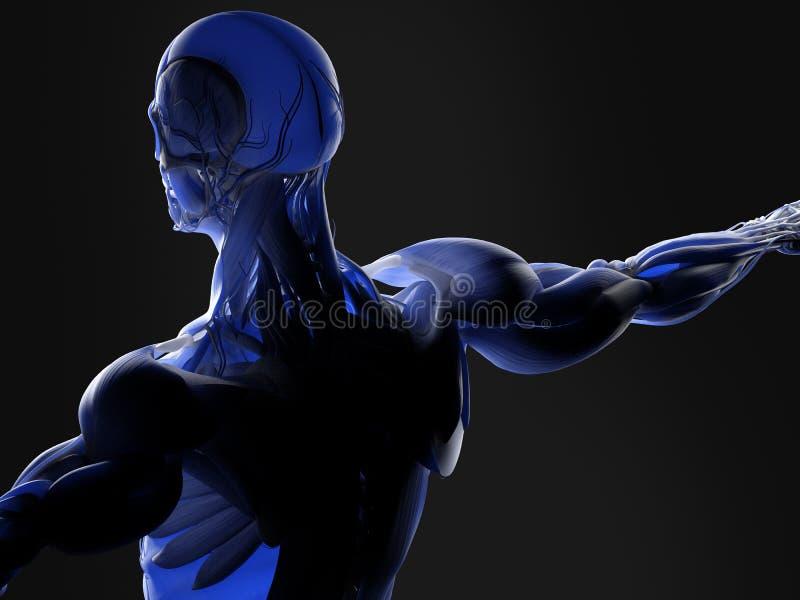 Músculos y arterias en cuerpo humano foto de archivo