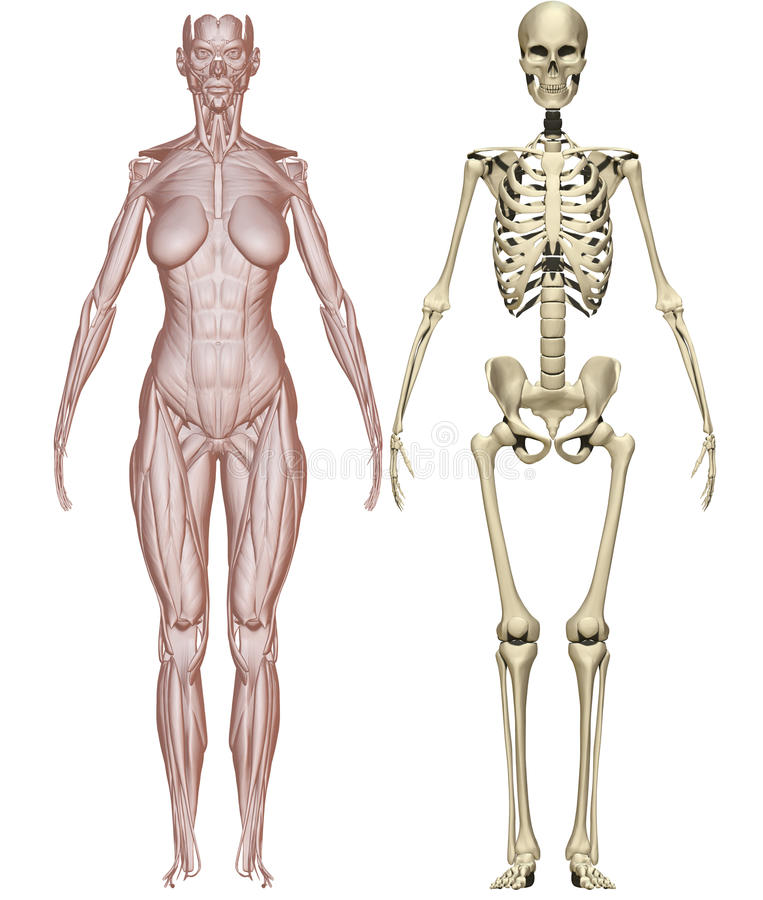 Músculos y mujer esquelética ilustración del vector