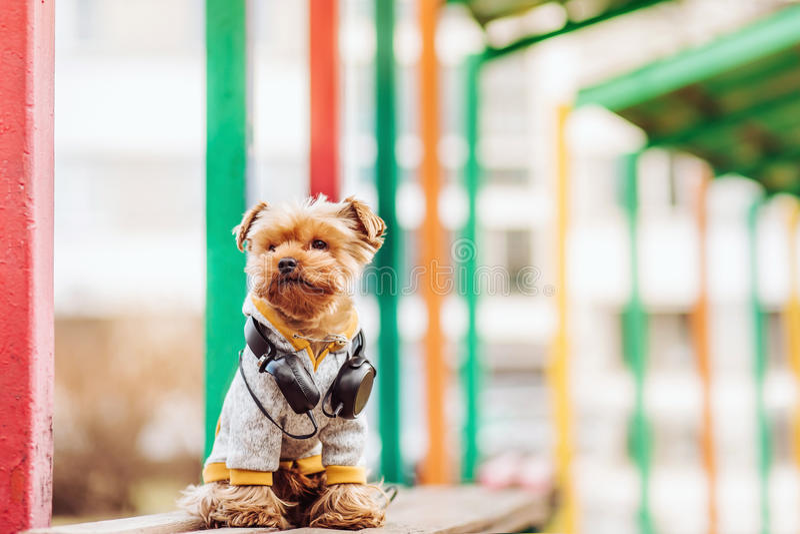 Música que escucha del terrier de Yorkshire en la calle fotos de archivo