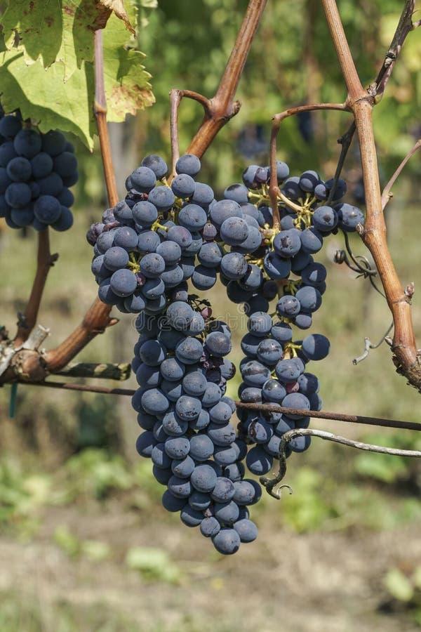 Mûr noircissez/raisin bleu dans un vignoble photographie stock libre de droits
