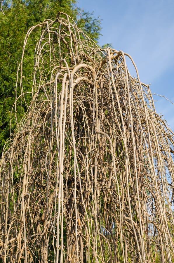 M?re pleurante - pendula alba de morus au printemps avec de petits bourgeons verts Arbor?tum botanique, Niemcza, Pologne photographie stock