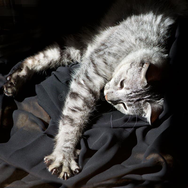 Müde Katze, Hauskatze im dunklen Hintergrund am sonnigen Tag zu Hause, müde graue Katze, schläfrige müde Katze, Katze, desaturate stockfotos