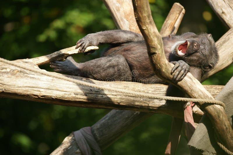 Müder gähnender Schimpanse stockbild
