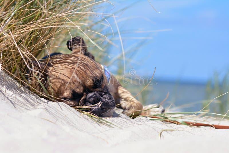 Müder Kitz Hund französischer Bulldogge mit schwarzer Maske im Urlaub schlafend auf einem Sandstrand stockfotografie