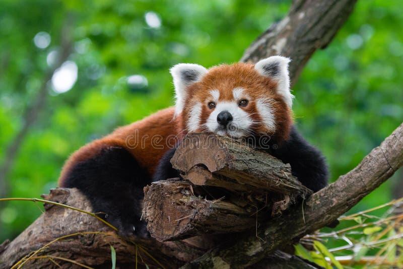 Müder roter Panda lizenzfreies stockbild