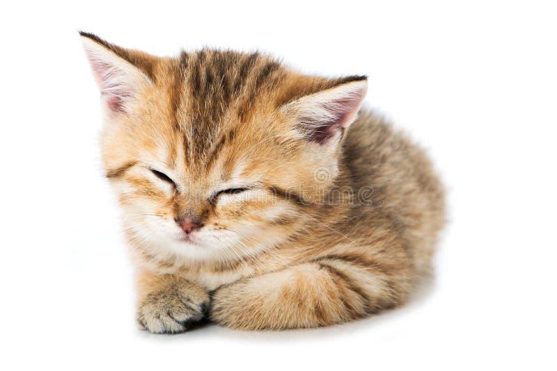 Tired british shorthair kitten on white background royalty free stock photo