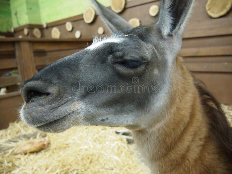 Mündung des jungen Lamas stockfotos