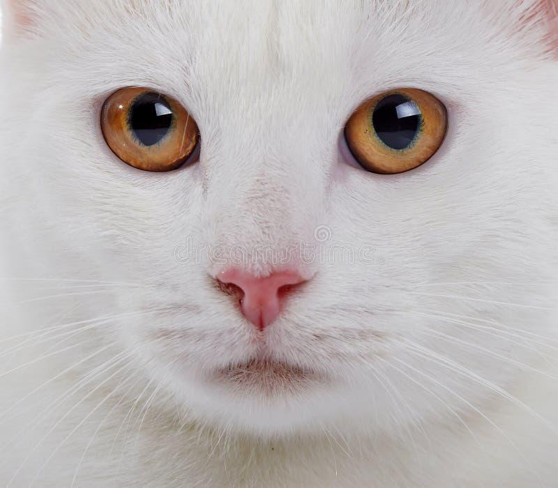 Mündung einer weißen Hauskatze mit gelben Augen lizenzfreie stockbilder