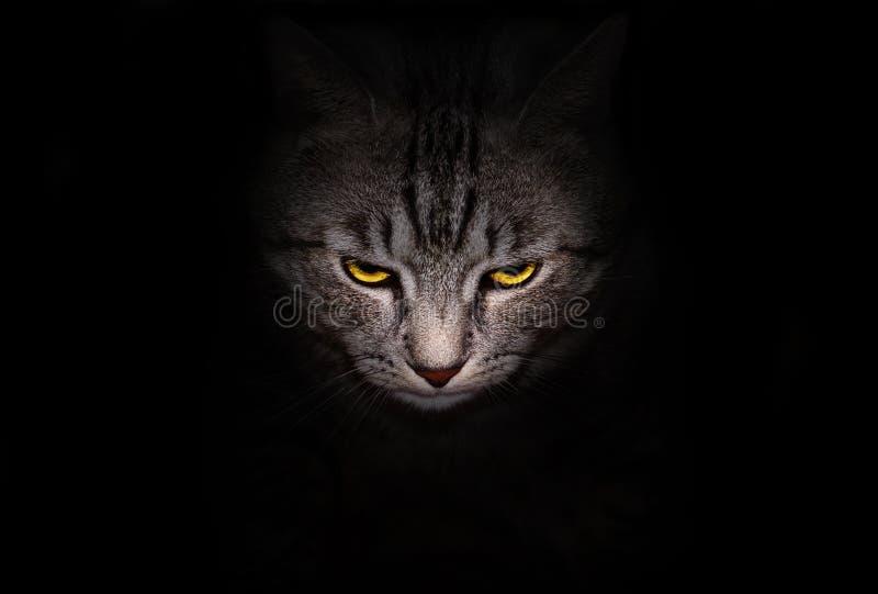 Mündung und helle Gelbaugenkatze starrt bedrohlich aus der Dunkelheit heraus an stockfotos