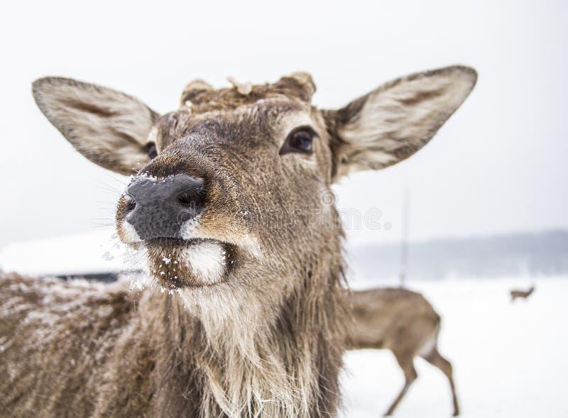 Mündungstierrotwild des Winterwaldes stockfoto