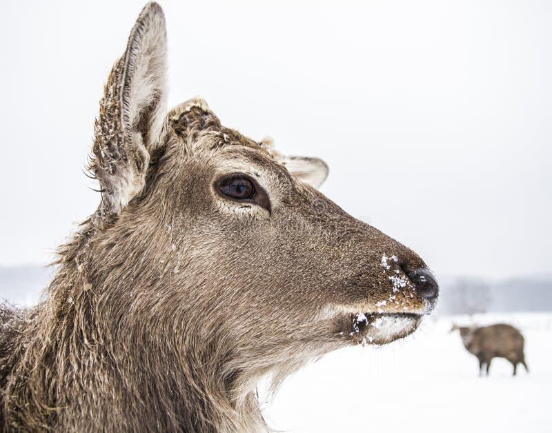 Mündungstierrotwild des Winterwaldes lizenzfreie stockfotos