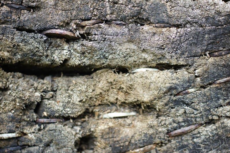 Münzen gehaftet auf einem Baumstamm im Aberglauben lizenzfreies stockbild