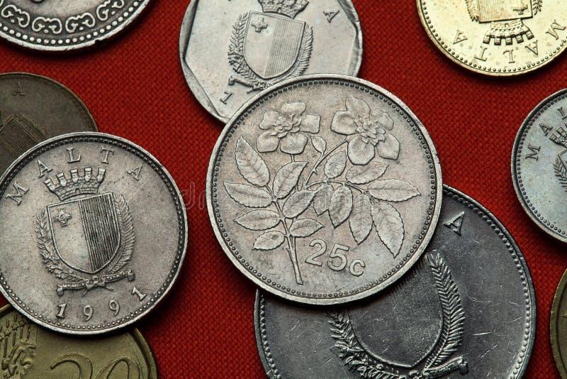 Münzen von Malta Immergrün stieg (Rosa-sempervirens) stockbilder