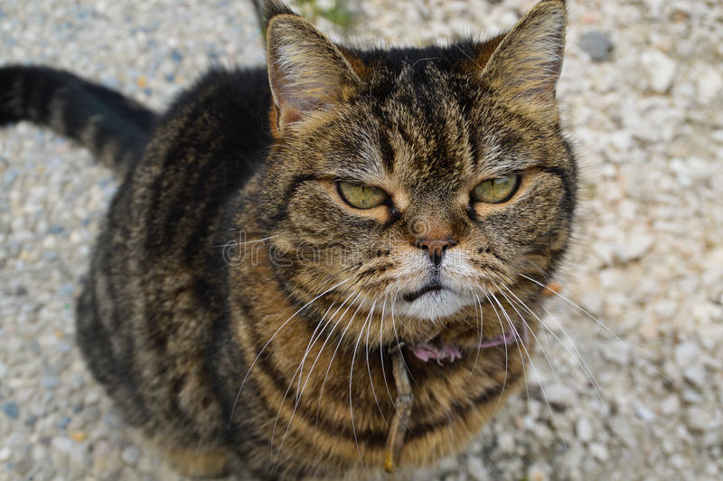 Mürrische Katze stockfotografie