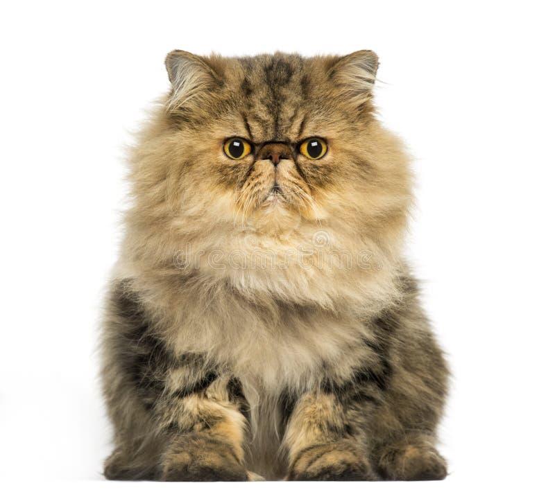 Mürrisches Gegenüberstellen der persischen Katze, die Kamera betrachtend lizenzfreies stockbild