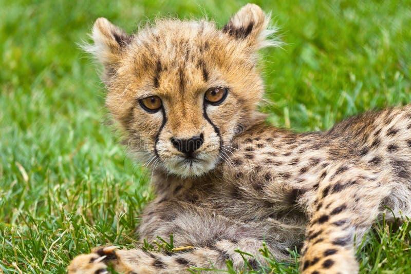 Mürrisches Gepardkatzenjunges, das entlang der Kamera anstarrt stockbilder