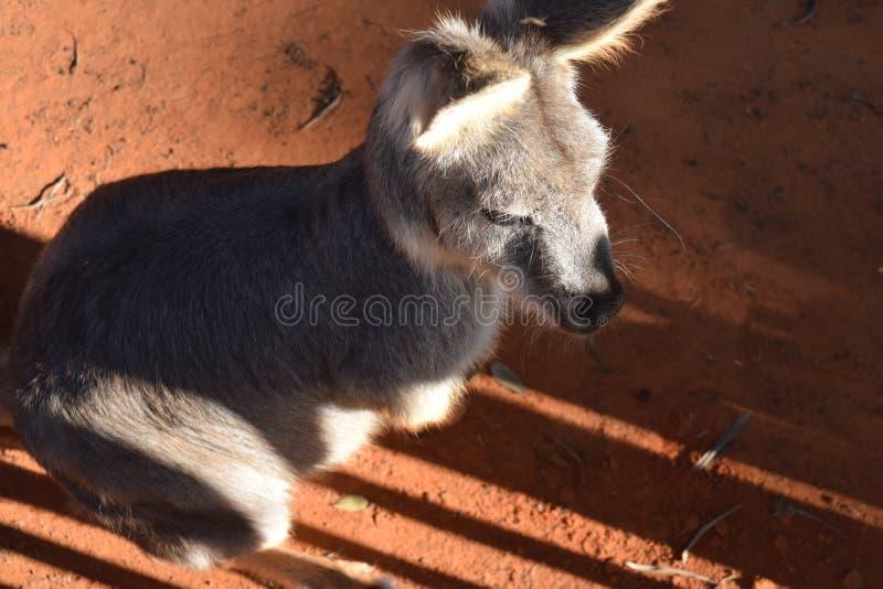 Mürrisches Kangoroo stockfotografie