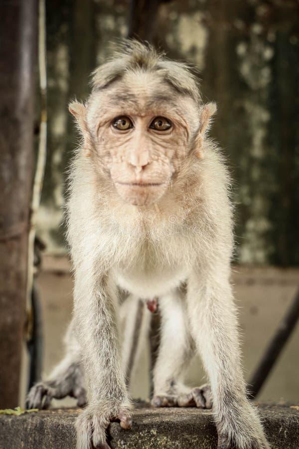 Mützen-Affe kam nah an meiner Kamera lizenzfreie stockfotografie