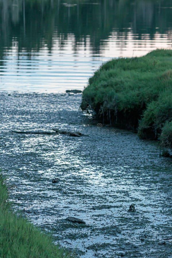 Mąci niskiego przypływu bagna strumienia otaczającego wysoką zieloną trawą prowadzi woda obrazy royalty free