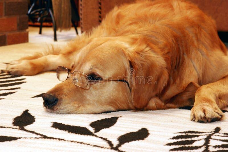 mądry pies fotografia royalty free