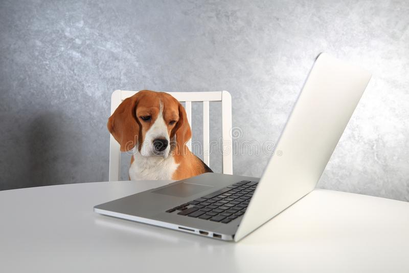 Mądrze beagle pies przy laptopem zdjęcie royalty free