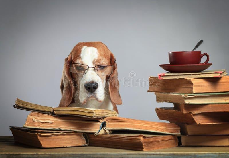 Mądrze beagle w szkłach z starymi książkami obrazy royalty free