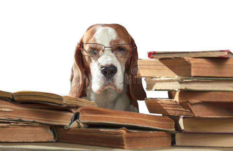 Mądrze beagle w szkłach z starymi książkami odizolowywać w bielu obrazy stock